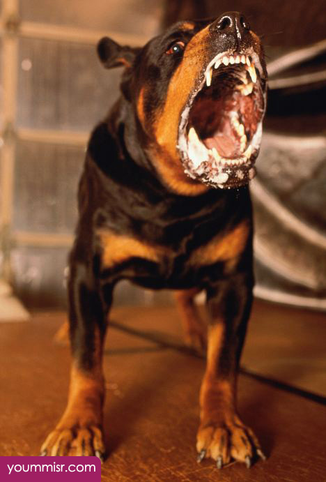 top 10 most dangerous dog attack breeds youm misr see you