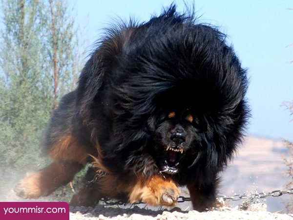 Top 10 Most Dangerous Dog attack Breeds youm misr See you don't see ...
