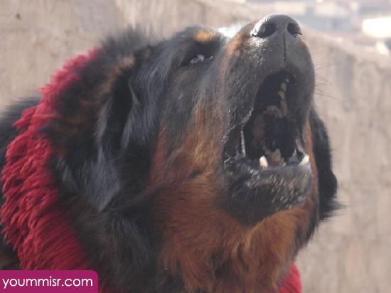 Dangerous dogs of the world 2015 2016 Rottweiler | افضل
